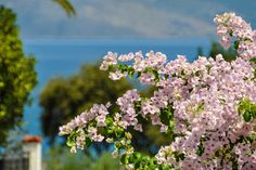 my favorite begonvillas Big Island, Greece, Around The Worlds, Explore, My Favorite Things, Beach, Islands, Beautiful, Greece Country