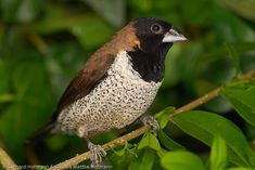Black-faced Munia, Indonesia. Finches and more