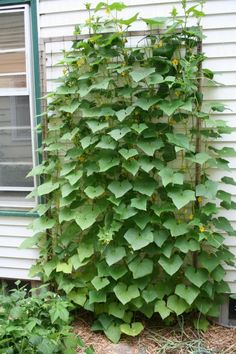 Cucumber trellis in my garden. I need to do this before my cucumbers get any bigger!