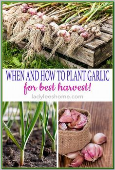 Planting Garlic in the Fall Learn when and how to plant garlic for best harvest! Grow your own food with these organic gardening tips and start with garlic. Fresh garlic is both a staple in cooking and a powerful natural medicine. Easy Vegetables To Grow, Organic Vegetables, Organic Plants, Veggies, Organic Pesticides, Herbs Garden, Tomato Garden, Gardening Vegetables, Garden Types