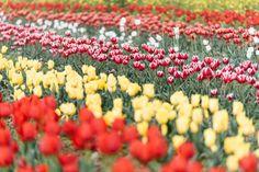 아름다운 유채꽃과 튤립을 동시에 볼 수 있는 곳. 바로 남해 '장평소류지'입니다. You can see beautiful canola flowers and tulips at the same time here. 'Jangpyeong Reservoir'