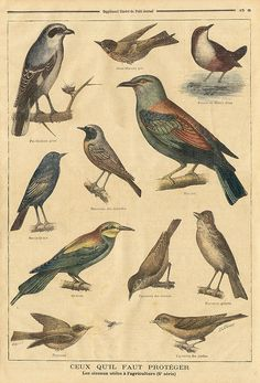birds || le petit journal 7 fev 1897