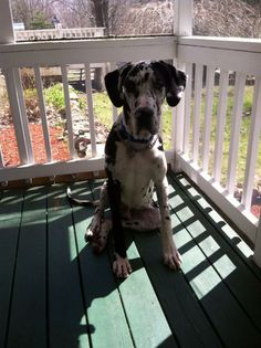 I Found Barney On Great Dane Dogs Dogs Find Pets