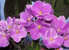 Violetas: como cuidar e ter flores o ano inteiro Temperatura controlada, água com moderação e nada de sol direto. Profissionais revelam quais são os cuidados necessários para que as suas violetas floresçam lindas e saudáveis