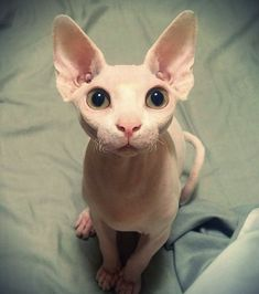 Intelligence, jumping skills, and lengthy toes are what makes Cornish Rex cat amazing. This intelligent breed of cat has the skills to open doors, hang on different objects and can even rummage on your closets. Cute Hairless Cat, Baby Animals, Cute Animals, Baby Giraffes, Wild Animals, Cornish Rex Cat, Especie Animal, Sphinx Cat, Cat Pose