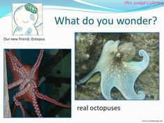 "I just wrapped up some SUPER fun octopus research in first grade!  This is the first time I've done ""real"" research with first graders.  I didn't have first grade last year and this year I found it challenging to decide what to do with them in the first part of the year.  Now, I think we're finally in a groove and are doing great things!  I started this whole-group project with the goal being to take the kids through the research process.  We'd share our learning by creating a nonfiction…"
