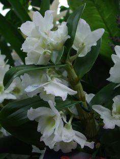 Dendrobium Nobile Orchids Types | dendrobium nobile dendrobium nobile also known as the noble dendrobium ...