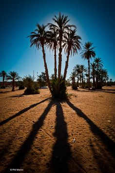 Beautiful backdrop of Medjool Date Palms in the desert! The sunset really makes this picture come to life!