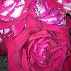 From my rose garden.