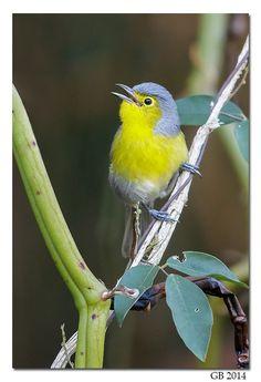 Oriente warbler (Teretistris fornsi)