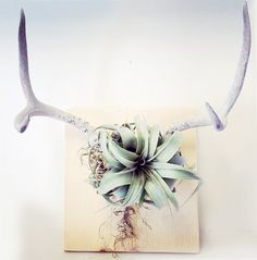 Image of air plant mounted on antlers