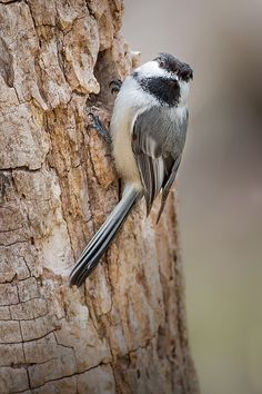 A portrait of a Black Capped Chickadee foraging around an old log.None