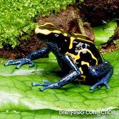 Dart Frog Connection - Tinctorius bahkuis Breeding: Easy to breed. Uses coco huts and petri dishes. Best kept in a pair (1 male to 1 female). Male have wider finger discs and a more defined Back Structure. Females tend to be Larger and usually have cleavage in the chest region. Reaches sexual maturity in 10-16 months on average. Produces egg clutches every 5 to 10 days. Clutch size is 3-10 eggs on average. Metamorphosis takes on average 100 days  Other: Do Not Mix Species