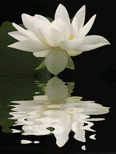 Beautiful White Lotus Flower Reflection!