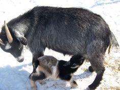 Raising Nigerian Dwarf Goats: Perfect for a Small Farm