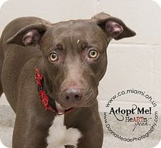 URGENT!  I am at a kill shelter in Troy, OH - Pit Bull Terrier Mix. Meet Suzy a Dog for Adoption.
