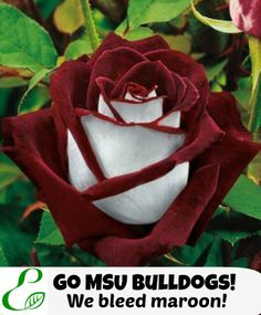 Go MSU Bulldogs! We bleed maroon! East MS Lawns, Starkville, MS