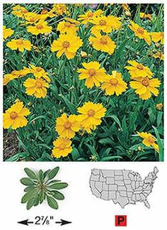 Tickseed/Lance-Leaced Coreopsis http://shop.wildseedfarms.com/Tickseed_Lance-Leaved-Coreopsis/productinfo/3210/