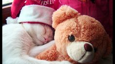 cute teddy bear with sleeping cat wearing santa cap
