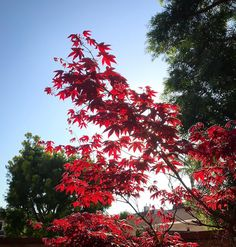 Japanese Maple 4.10.2017