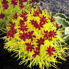 Cherry Lemonade Coreopsis: Bright, feathery golden foliage with cherry red flowers all summer long! The startling color combination combined with its low, compact habit, make this a dramatic standout in any container or border garden. Plant in containers in northern gardens and bring indoors for winter. Grows 8-9″ tall. Full sun.