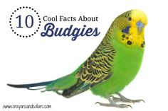 Budgies are popular pet birds who light up homes with their pretty colors and cheerful chatter. Here are 10 cool facts about these sweet birds.