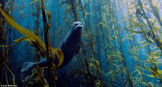 This image of a harbor seal was taken in a kelp forest at Cortes bank near San Diego in California by Kyle McBurnie.
