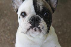 Ellie, the French Bulldog