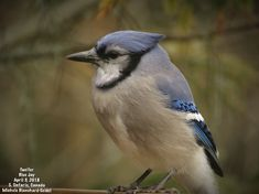Two'fer, Blue Jay