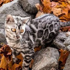 Looking for the best Bengal Cat photos? As a Bengal breeder, Wild & Sweet offer you tons of Bengal Cat photos so you can fall in love with our little ones. Chat Toyger, Toyger Cat, Cute Kittens, Cats And Kittens, Ragdoll Kittens, Kitty Cats, Bengal Cat For Sale, Cats For Sale, Bengal Cats
