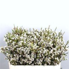 Limonium flower white wholesale fillers pinterest small white blondie is a white variety of waxflower also known as chamelaucium a superb seasonal filler flower tall wholesaled in 25 stem wraps mightylinksfo