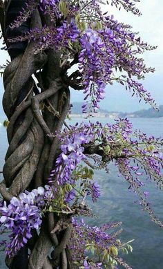 Great depth in this wisteria photo