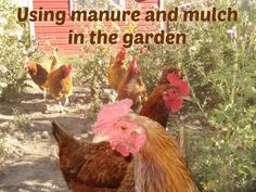 Using chicken manure on top of the wood chips mulch is the key to a successful back to eden garden!