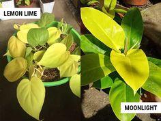 Indoor Plants Names, Summer Plants, Lemon Lime, Houseplants, Garden Plants, Moonlight, Plant Leaves, Flowers, Gardening