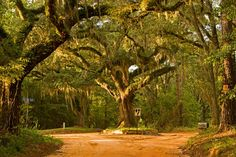 "Old Magnolia Road- One of Tallahassee's Famous ""Canopy"" Roads Panhandle Florida, Tallahassee Florida, Old Florida, Florida Usa, Florida Home, Winter Springs Florida, Oh The Places You'll Go, Places To Visit, Florida Pictures"