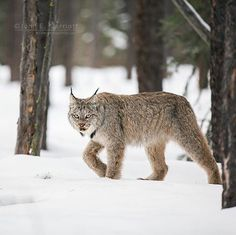 'The Look' - an adult lynx gives me the look as it strolls through the boreal forest in northern Alberta.