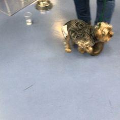 BLACKY este cachorrito de yorkshire vino ayer a revisión una semana después de haberle realizado una artroplastia de escisión de cabeza y cuello femoral derechos (amputación de la cabeza y cuello del fémur) ya que presentaba una enfermedad genética que daba lugar a la degeneración de la articulación de la cadera (Legg-Perthes). Esta es la técnica adecuada en este caso y le permitirá una vida completamente normal. #aljarafe #sevilla #perro #perros #perra #cachorros #cachorro #yorkshire…