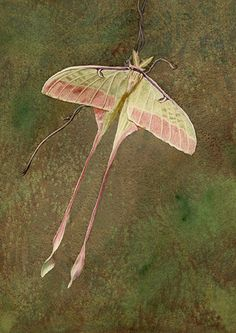 Chinese Luna Moth (Actias dubernardi) by susanbrandstudio, via Flickr