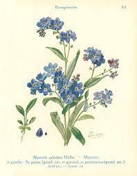 botanical illustration forget-me-not