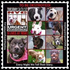 TO BE DESTROYED 03/07/17 - - Info   To rescue a Death Row Dog, Please read this:http://information.urgentpodr.org/adoption-info-and-list-of-rescues/  To view the full album, please click here:http://nycdogs.urgentpodr.org/tbd-dogs-page/ -  Click for info & Current Status: http://nycdogs.urgentpodr.org/to-be-destroyed-4915/