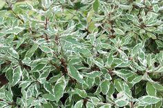 Dereń biały 'Sibirica Variegata' – Cornus alba 'Sibirica Variegata'   Bardzo dekoracyjna, często spotykana odmiana derenia o ozdobnych liściach.  Krzew o pionowo wzniesionych, sztywnych czerwonych pędach, dorasta do 3 m wysokości. Ma rozłożysty, wzniesiony pokrój. Liście zielone, biało obrzeżone. Jesienią przebarwiają się na różowo-czerwono.