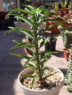 Aloe ciliaris cutting cactus succulent plant agave lot bromeliad caudex bonzi | eBay