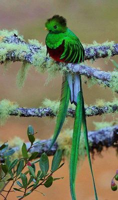 The Quetzal Quetzals Are Beautifully Colored Birds Intense Green Color Nature Long Tail By Bob Gress