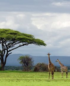 Photos and pictures of: Tanzania, Serengeti National Park, Maasai giraffe (Giraffa camelopardalis tippelskirchi) - The Africa Image Library Cool Places To Visit, Places To Travel, Places To Go, Beautiful Places In The World, Wonderful Places, Delta Do Okavango, Foto Poster, Serengeti National Park, Tanzania Safari