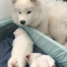 samoyed dogs Checking on the puppies Like Animals, Cute Funny Animals, Funny Animal Pictures, Cute Baby Animals, Cute Dogs Breeds, Cute Dogs And Puppies, Big Dogs, Doggies, Samoyed Dogs