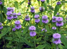 clay and limestone: Wildflower Wednesday~2014 Roundup - downy woodmint