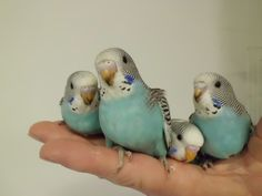 budgies..so cute I want one, or two, or three....  :)