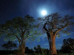 Le parc national de Tarangire - Baobabs de Tanzanie
