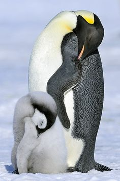 Emperor Penguin with Chick Penguin Love, Cute Penguins, Penguin Parade, Animals And Pets, Baby Animals, Cute Animals, Beautiful Birds, Animals Beautiful, Tier Fotos