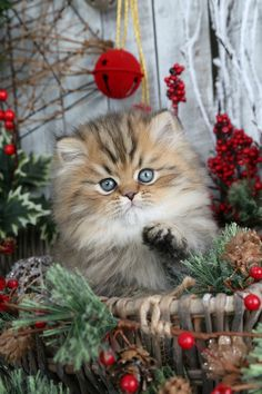 Persian Cat Shorthaired Shaded Golden Persian Kitten - Visit our website to view all of our currently available Persian Kittens. Persian Kittens For Sale, Cute Cats And Kittens, I Love Cats, Kittens Cutest, Christmas Kitten, Christmas Animals, Animals And Pets, Cute Animals, Cute Christmas Wallpaper